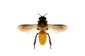 Image of bee or honeybee isolated on white background. Insect. Animals.