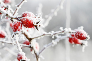 Papiers peints Jardin Frosted red rose hips in the garden