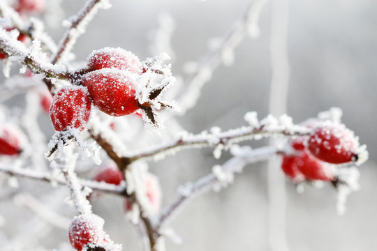Frosted red rose hips in the garden