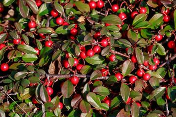 Red berries (cotoneaster horizontalis) in the garden.