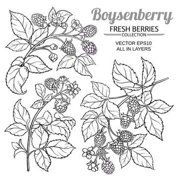 boysenberry vector set