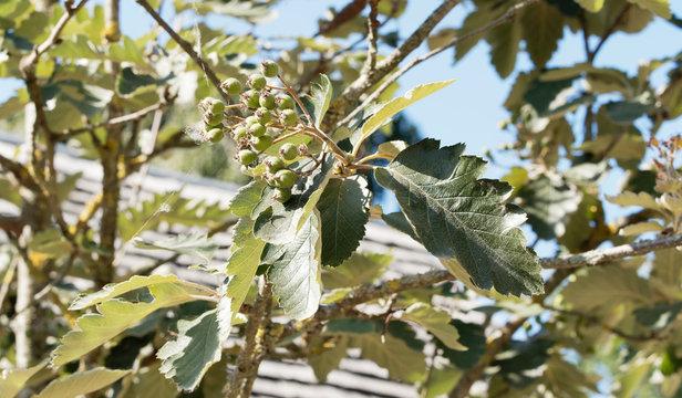 Alisier de Suède ou sorbier intermédiaire (Sorbus intermedia). Feuilles vert foncé et fruits non maturées