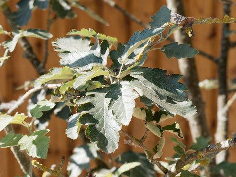 Sorbus intermedia. Alisier de Suède, Sorbier intermédiaire ou Sorbier de Scandinavie aux feuilles vert foncé, lobées et dentées, blanchâtre au dessous