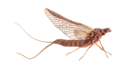 brown shadfly isolated on white