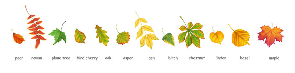 Collection of autumn leafs of various trees realistic vector style. Isolated objects