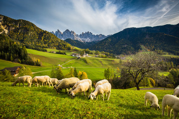 In de dag Schapen Dolomites mountain scenery with grazing sheep, Val di Funes, South Tyrol. Italy