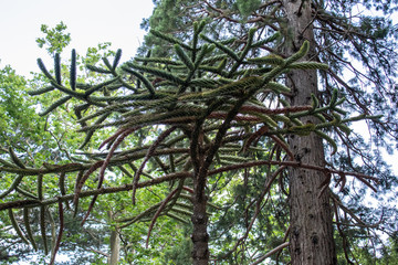 Door stickers Roe Chilean conifer Araucaria some specimens reach a height of 60 m
