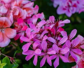 Fototapeta Sofy close-up of beautiful bright pink blooming Geranium flowers (Geraniums pink flowers). Summer flower landscape, fresh wallpaper and nature background concept obraz