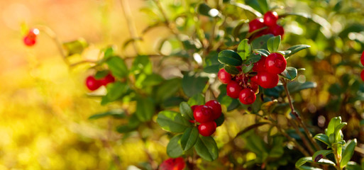 Red cowberry, lingonberry or partridgeberry in forest, natural background.