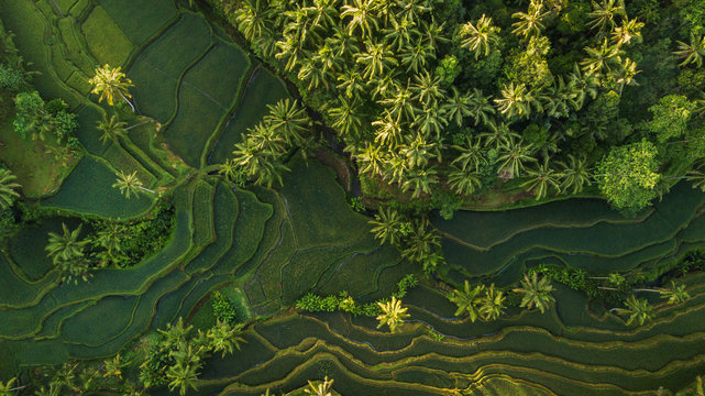 Lush green rice terrace field with palm tree and rain forest tropical jungle plantation