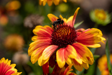 View of bumble bee on the  blanket gaillardia flower in the summer garden