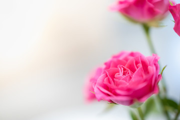 Close up of pink rose  with copy space use for nature and flower background and wallpaer.