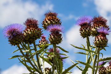 View of artichoke heads with flowers in bloom in the summer garden