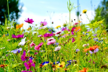 Wall Mural - Blumenwiese - Hintergrund Blumen Wiese Wildblumen