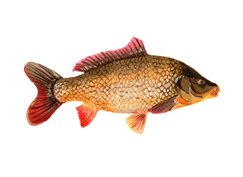 Watercolor single carp fish isolated on a white background illustration.