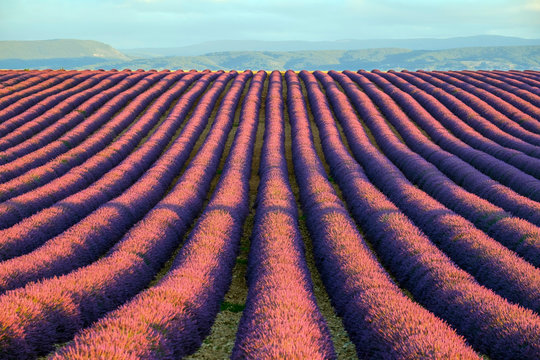 Rows of purple lavender in height of bloom in early July in a field on the Plateau de Valensole at sunrise, Provence-Alpes-C?te d'Azur, France