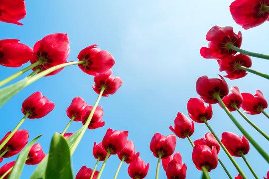 Looking up at tulip blossoms against blue sunny sky, Ursem, North Holland, Netherlands
