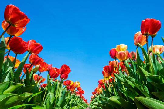 Netherlands, North Holland, Callantsoog. Multicolored tulip flowers against a blue sky, near the village of Zipje.