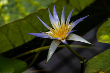 Portait of flowering blue-white nymphaea water lily