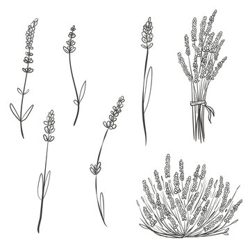 Set of hand drawn sketch lavender isolated on white background. Vector vintage retro illustration.