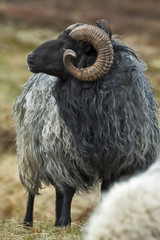 A grey longhaired Gotland sheep on a meadow