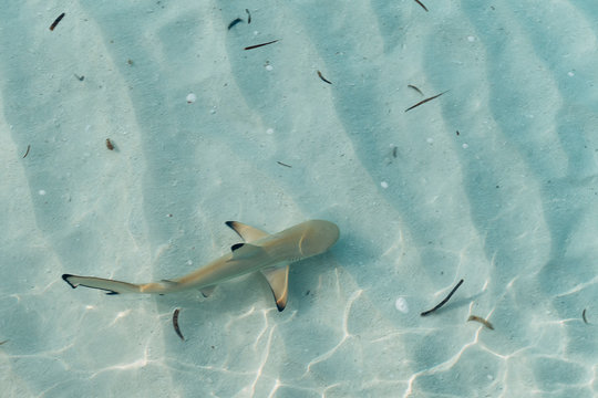 Baby shark in shallow and transparent water in Maldives islands