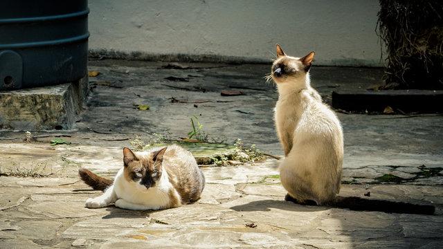 Lazy siamese cats taking sun