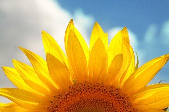 Close-up of a sunflower head