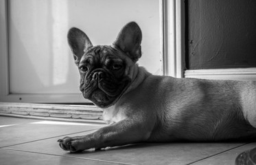 Black and White picture of French Bulldog lying down in living room