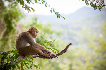 Zelfklevend Fotobehang Aap Male monkey sitting on a tamarin branch and mountain background.