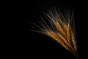 Ears of wheat and grains on dark background
