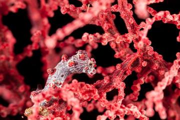 Pygmy Seahorse Hippocampus bargibanti, also known as Bargibant's seahorse hiding in gorgonia