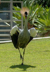 African Grey crowned Crane runs on the grass