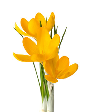 Three  yellow crocus flowers isolated on white