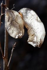 Colutea Arborescens Seed Pods, Sunlight