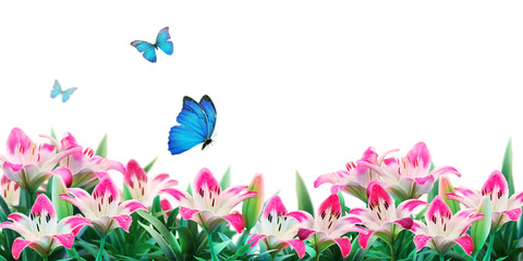 Pink lilies flowers  and fluttering butterflies on white background.  Summer template, artistic image, free space