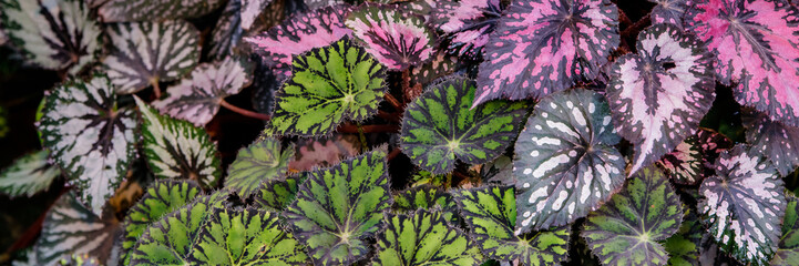 Multi-colored begonia leaves of different types