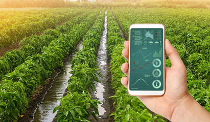 A hand is holding a smartphone with infographics on the background of traditional watering pepper plantations. Farming and agriculture. Cultivation, care and harvesting. agricultural products for sale Fotomurales
