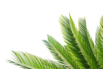 Group of big green leaves of exotic date palm tree, isolated on white background. Tropical plant foliage with visible texture. Pollution free symbol. Close up, copy space. Wall mural