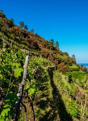 Vineyard in Manarola, Cinque Terre, UNESCO World Heritage Site, Liguria, Italy