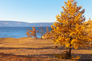 Baikal Lake autumn sunny day. The coast of Olkhon Island with yellowed larch trees against the background of the Small Sea Strait. Natural background