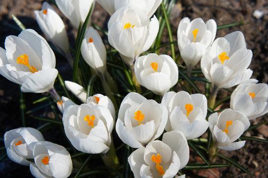 Crocus chrysanthus safran white early flowers