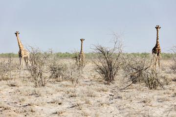 Steenbok at Etosha National Park, Namibia, Africa