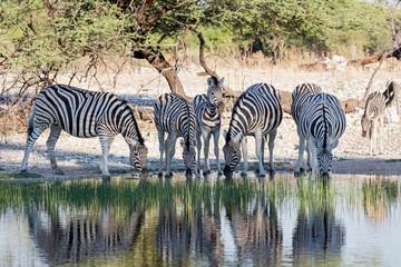 Group of zebra drinking at waterhole, Etosha National Park, Namibia, Africa
