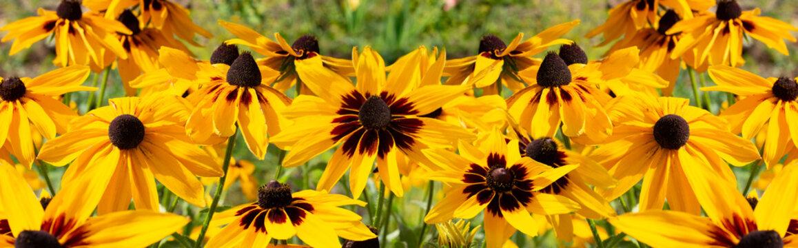 Black-eyed Susan Rudbeckia hirta yellow flower, banner background wallpaper. Decorative beautiful garden flowers, large panorama