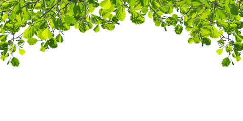 Alder  twigs with the young green leaves hang down isolated on white. Natural foliage background located on top of the picture. Wall mural