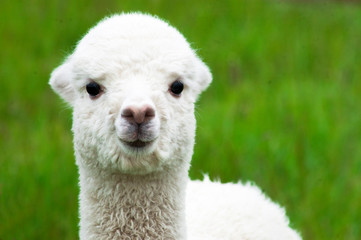 Fototapeten Lama White alpaca baby closeup
