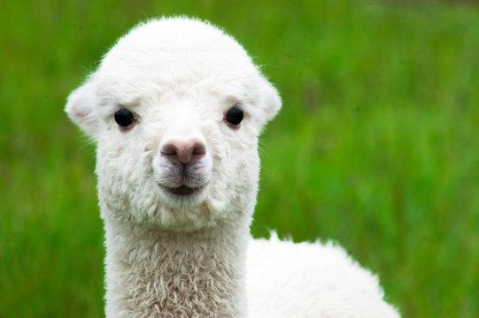 White alpaca baby closeup