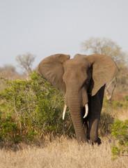 Poster Olifant Bull Elephant in Kruger National Park, South Africa