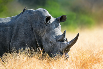 Wall Mural - White rhinoceros bull portrait , highly focused and alerted in tall golden grass. Kruger National Park. Ceratotherium simum